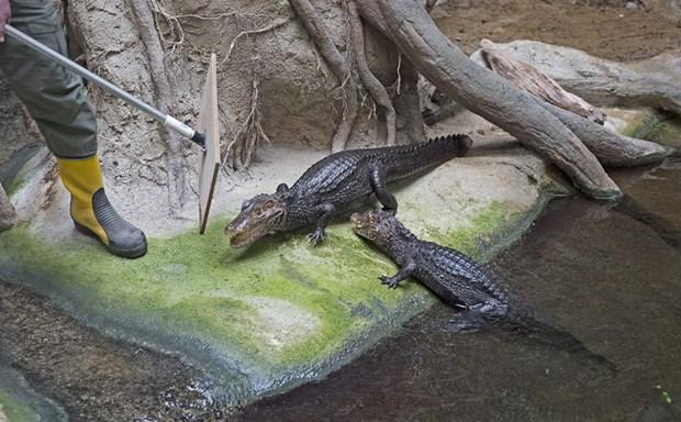 Krokodillerne får fjernvarme: Det er vi rigtig glade for